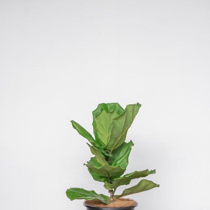 fiddle-leaf-fig-baby-2