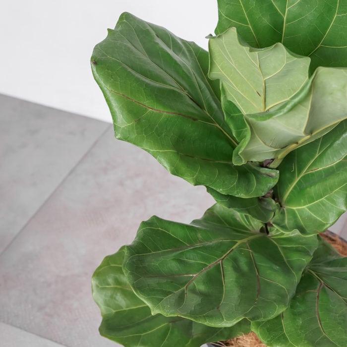 fiddle-leaf-fig-baby-3