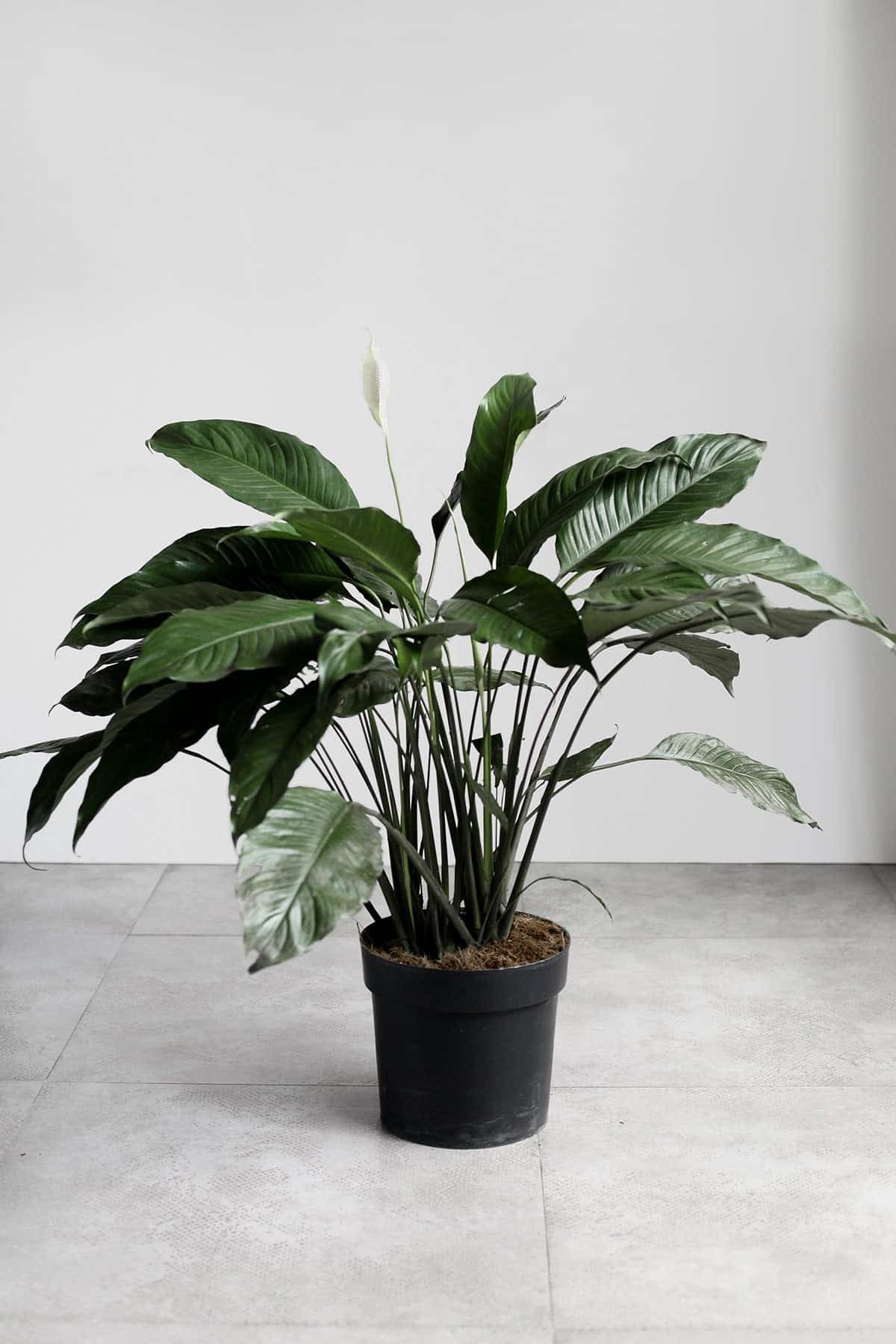 Peace Lily Indoor Plants Philippines