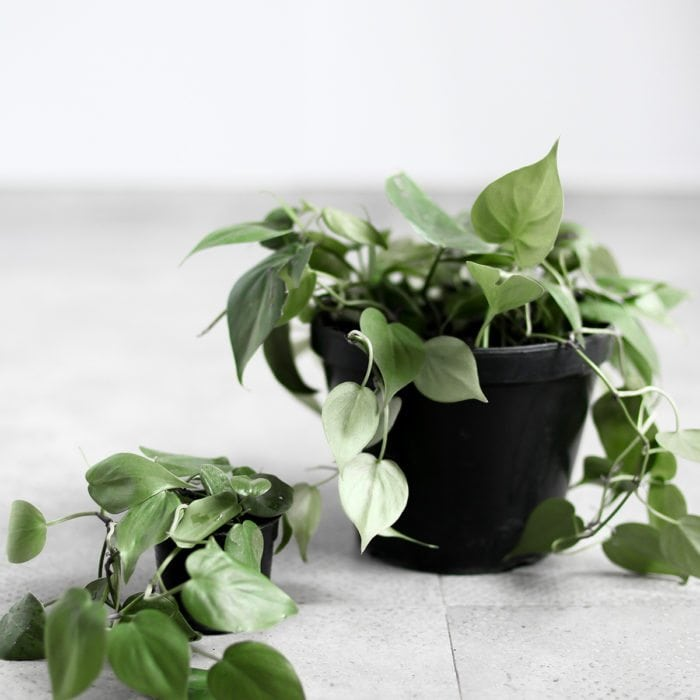 heart-philodendron-sizes2